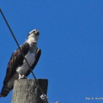 Osprey at Holey Land WMA