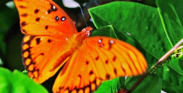 """Gulf Fritillary Butterfly"""