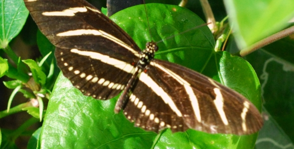 """""""Zebra Longwing Butterfly"""""""