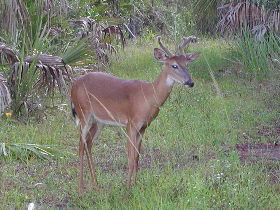 """Deer-young buck at Big Cypress national Reserve"""