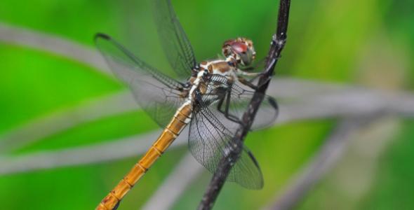"""Dragonfly at Big Cypress National Reserve"""