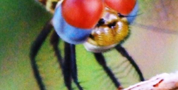 """Dragonfly smiling at Big Cypress National Reserve"""