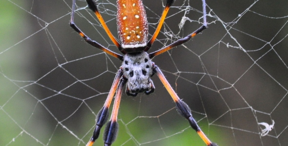 """""""Golden silk spider on web in Enchanted Forest Park"""""""