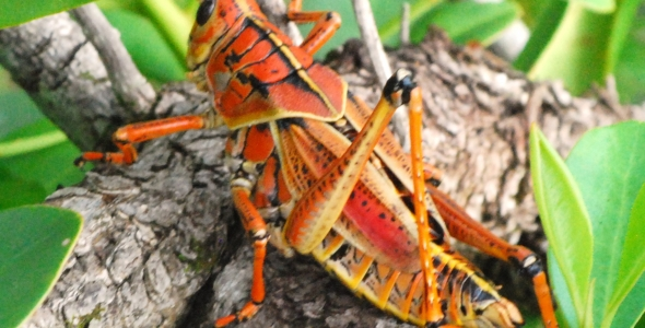 """Southeastern Lubber Grasshopper at Big Cypress National Reserve"""