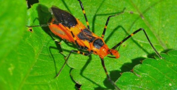 """Assassin bug in the Florida Everglades"""