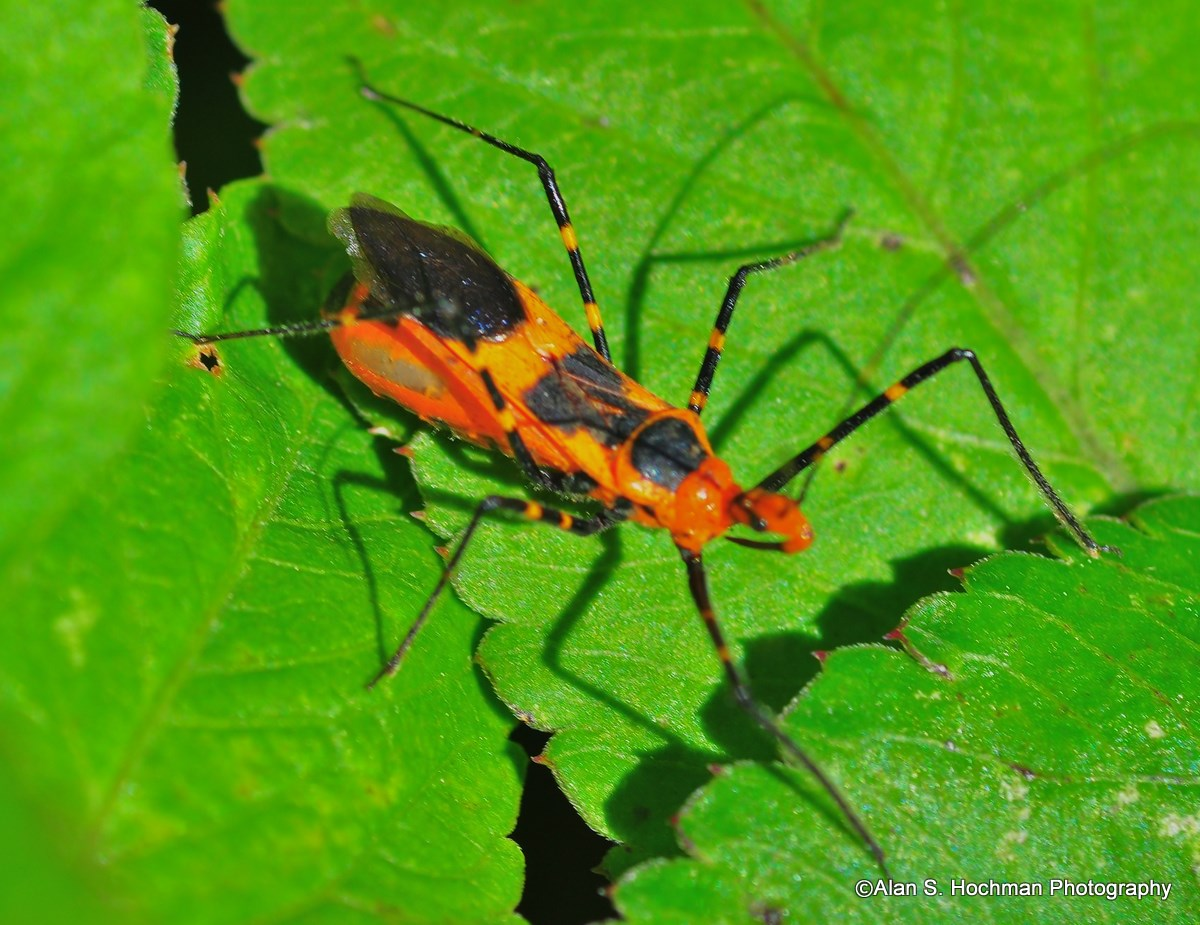 """Assassin bug in the Florida Everglades"""
