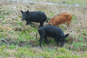 """Wild hogs at JW Corbett Wildlife Management Area"""