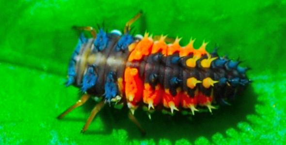 """Ladybug in larval stage"""