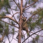 """Raccoon up a tree at Big Cypress NWR"""