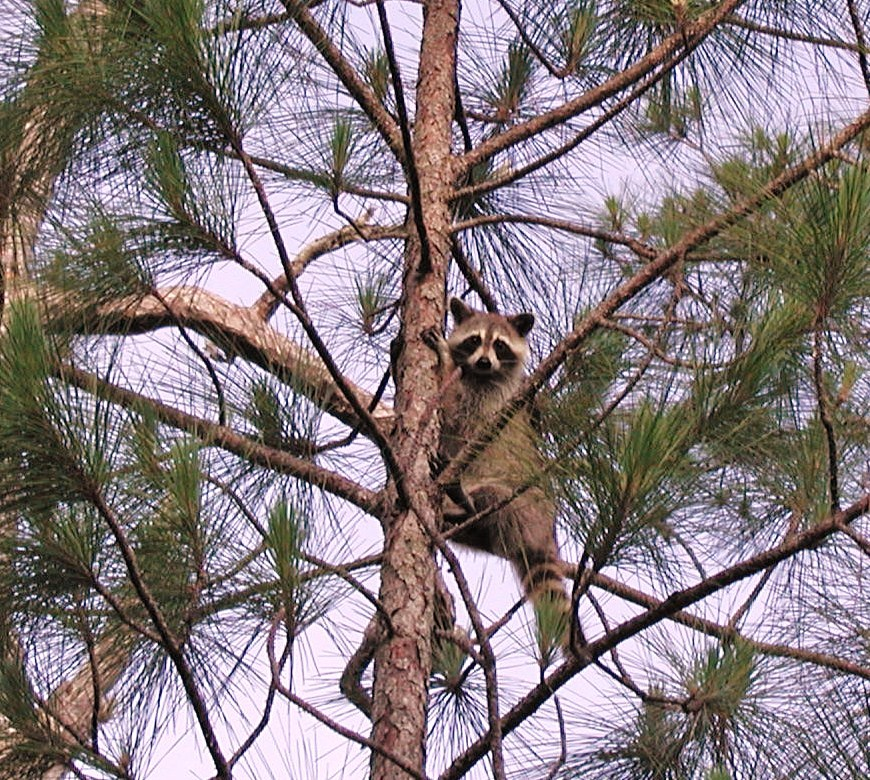 &quot;Raccoon up a tree at Big Cypress NWR&quot;
