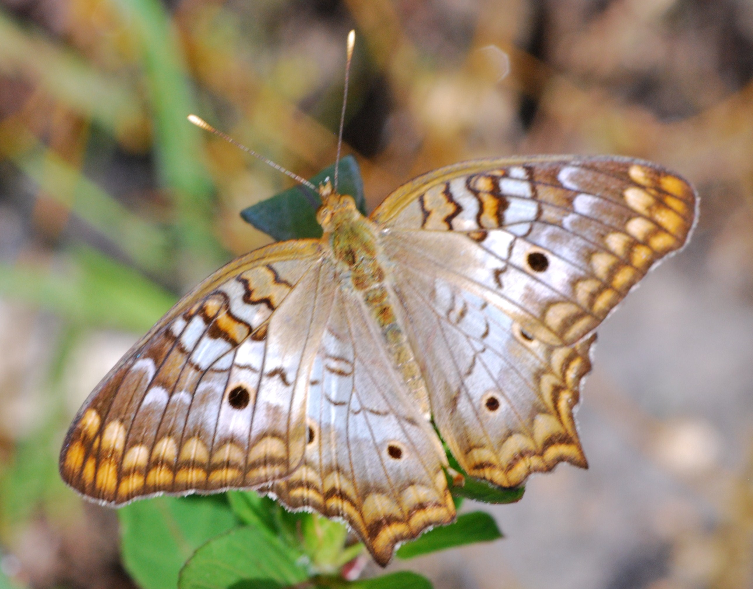 """White Peacock Butterfly in Florida Everglades"""