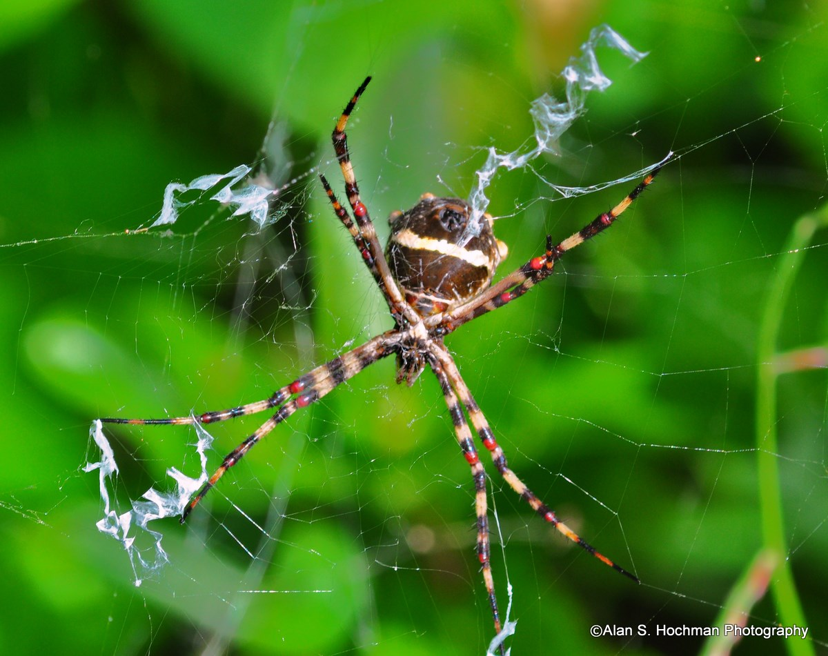 """Black and Yellow Garden Spider - Argiope aurantia """