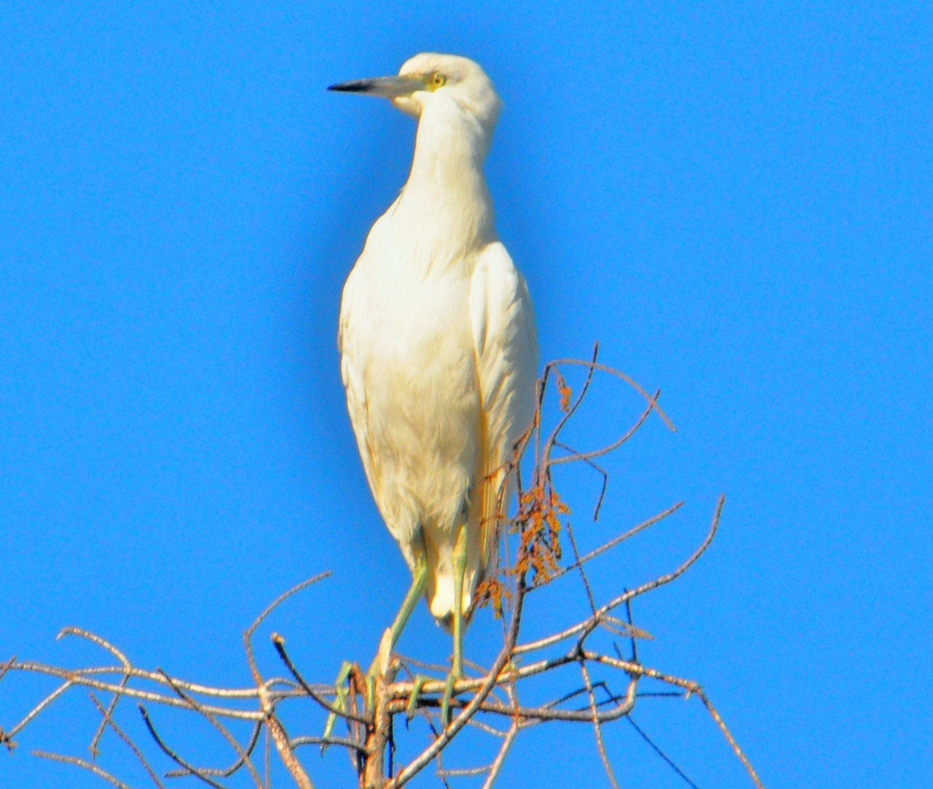 """Egret atop a Tree in the Florida Everglades"""