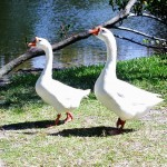 """Pair of Geese at Enchanted forest Park in North Miami, FL"""