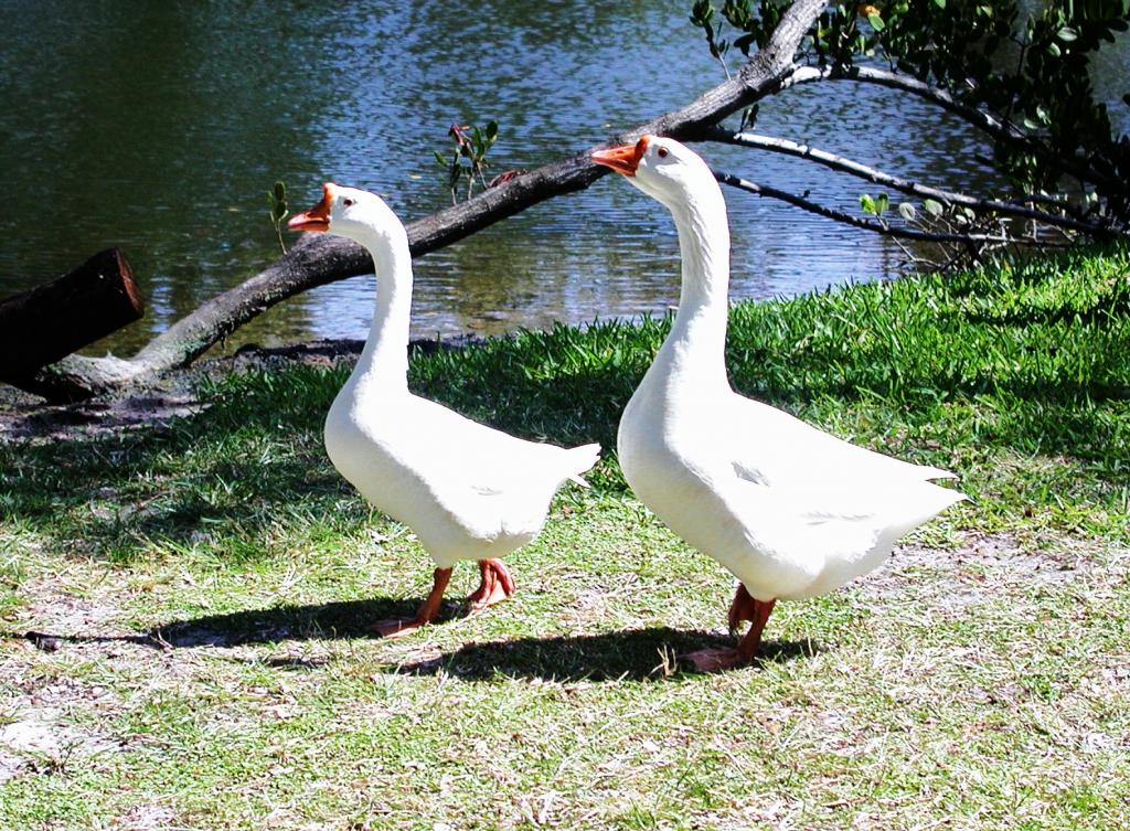 &quot;Pair of Geese at Enchanted forest Park in North Miami, FL&quot;