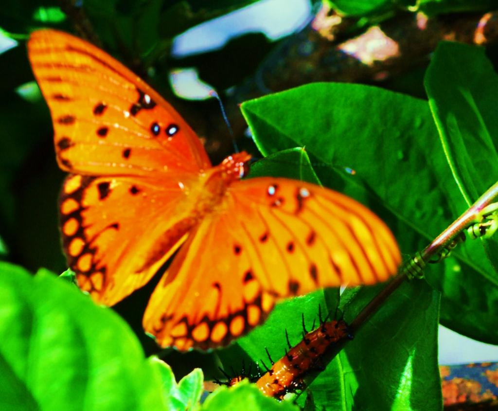 """Gulf Fritillary Butterfly and Caterpillar"""