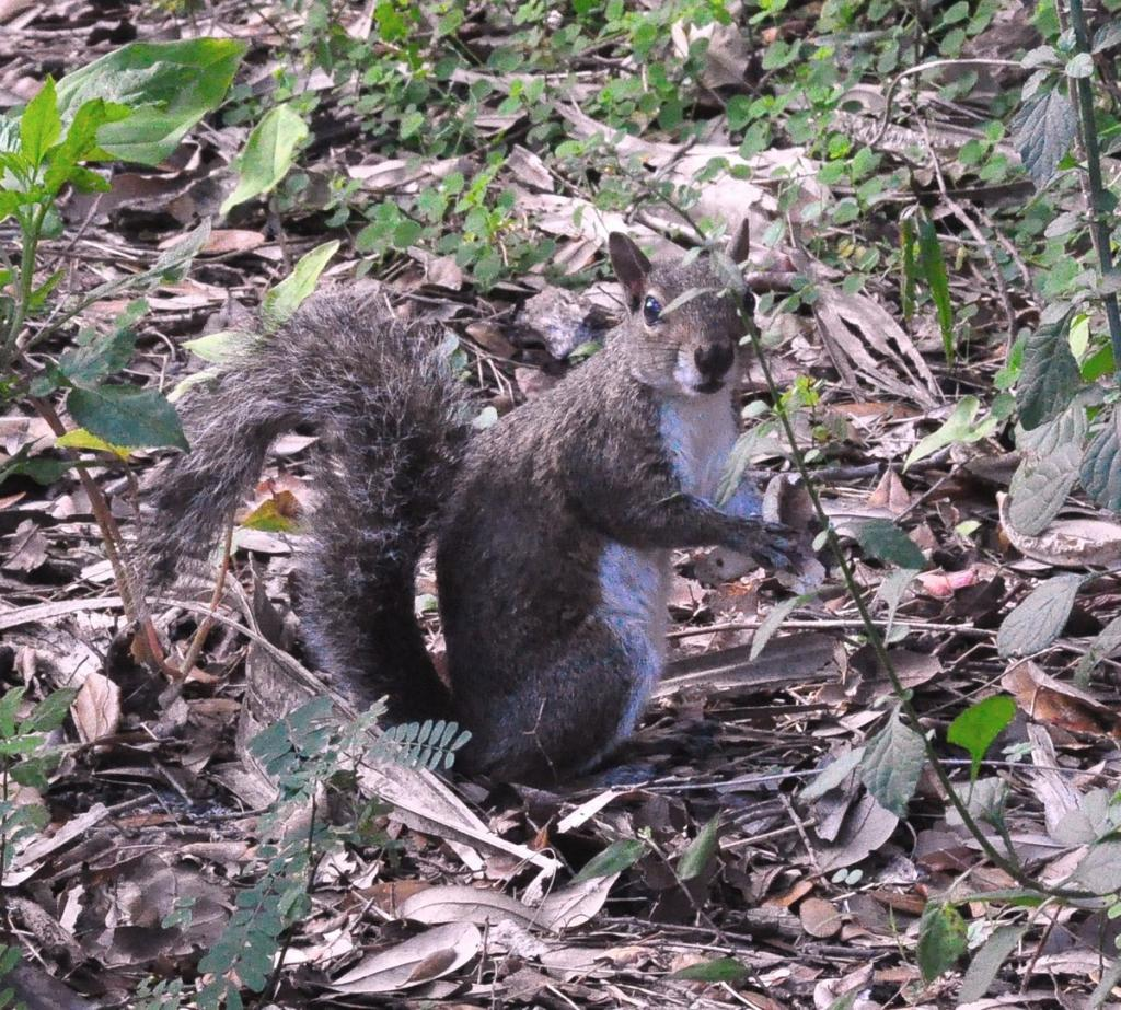 """Eastern Gray Squirrel at Enchanted Forest Park"""