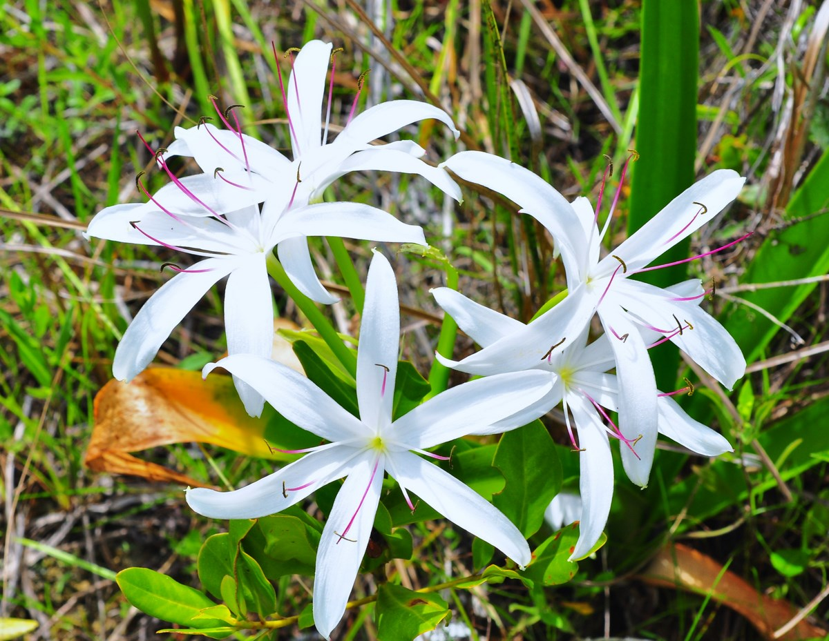 """Swamp Lily in bloom at Fakahatchee Strand, Everglades"""