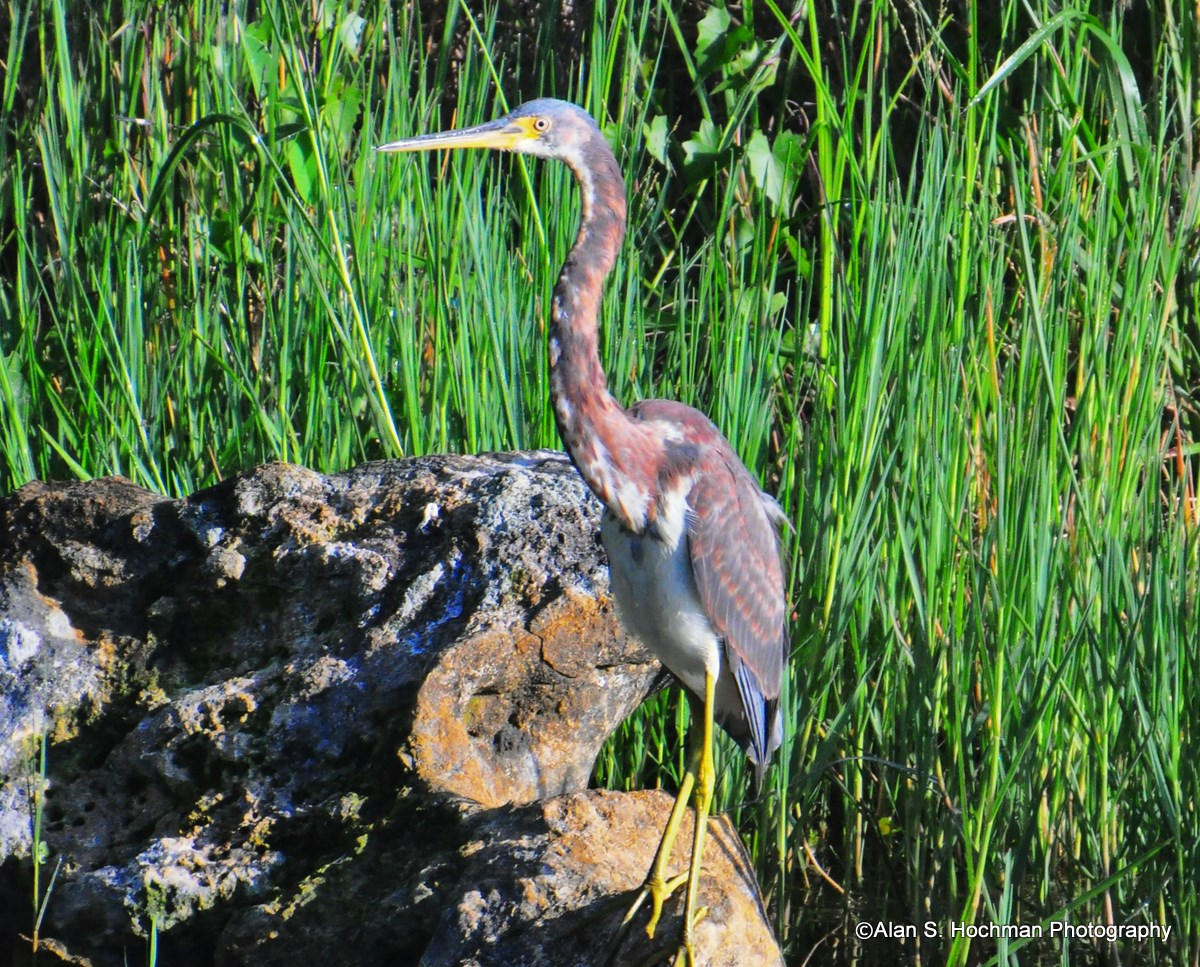 """TriColored Heron juvenile on rock in Big Cypress WMA"""