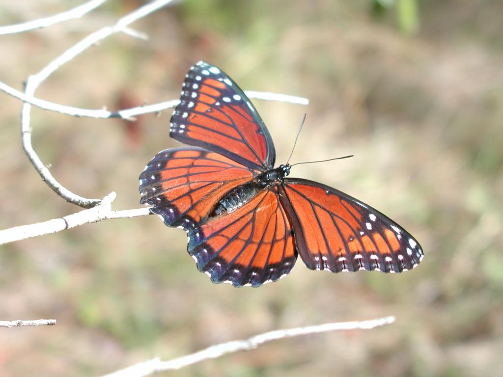 """Viceroy Butterfly in the Florida Everglades"""