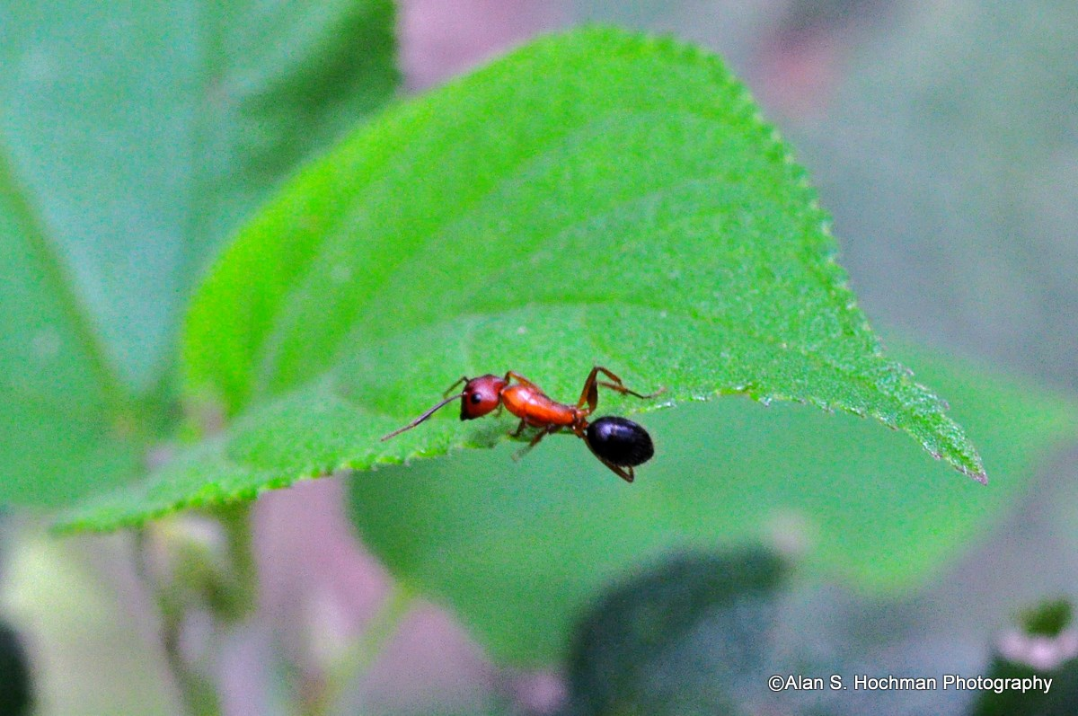 """Allegheny mound ant in the Big Cypress National Preserve"""