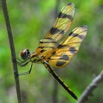 """Halloween Pennant dragonfly in Big Cypress National Preserve"""