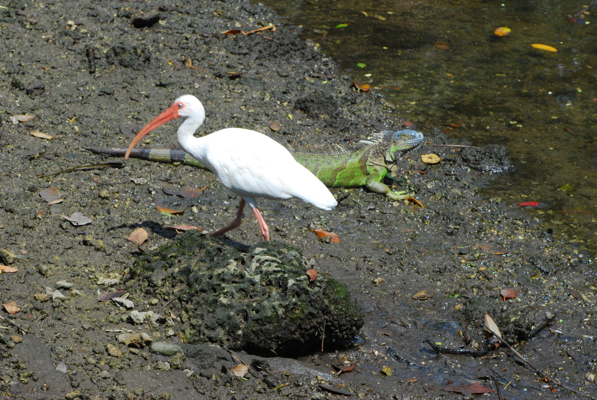 """Ibis and Iguana at Enchanted Forest Park"""