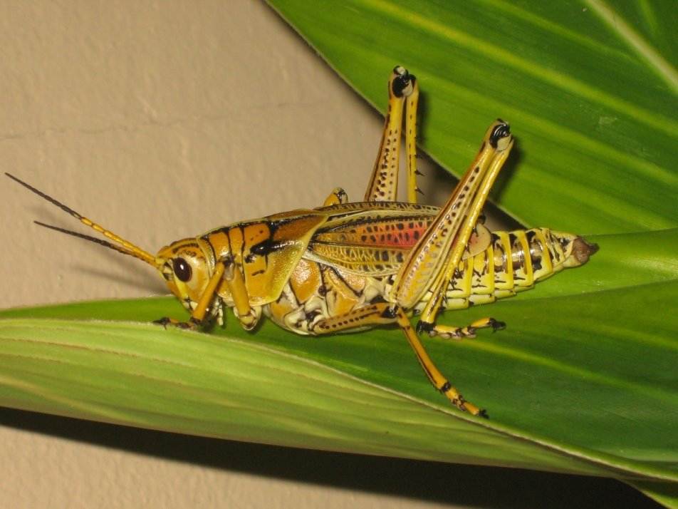 """Lubber grasshopper in Keystone Point Park in Florida"""