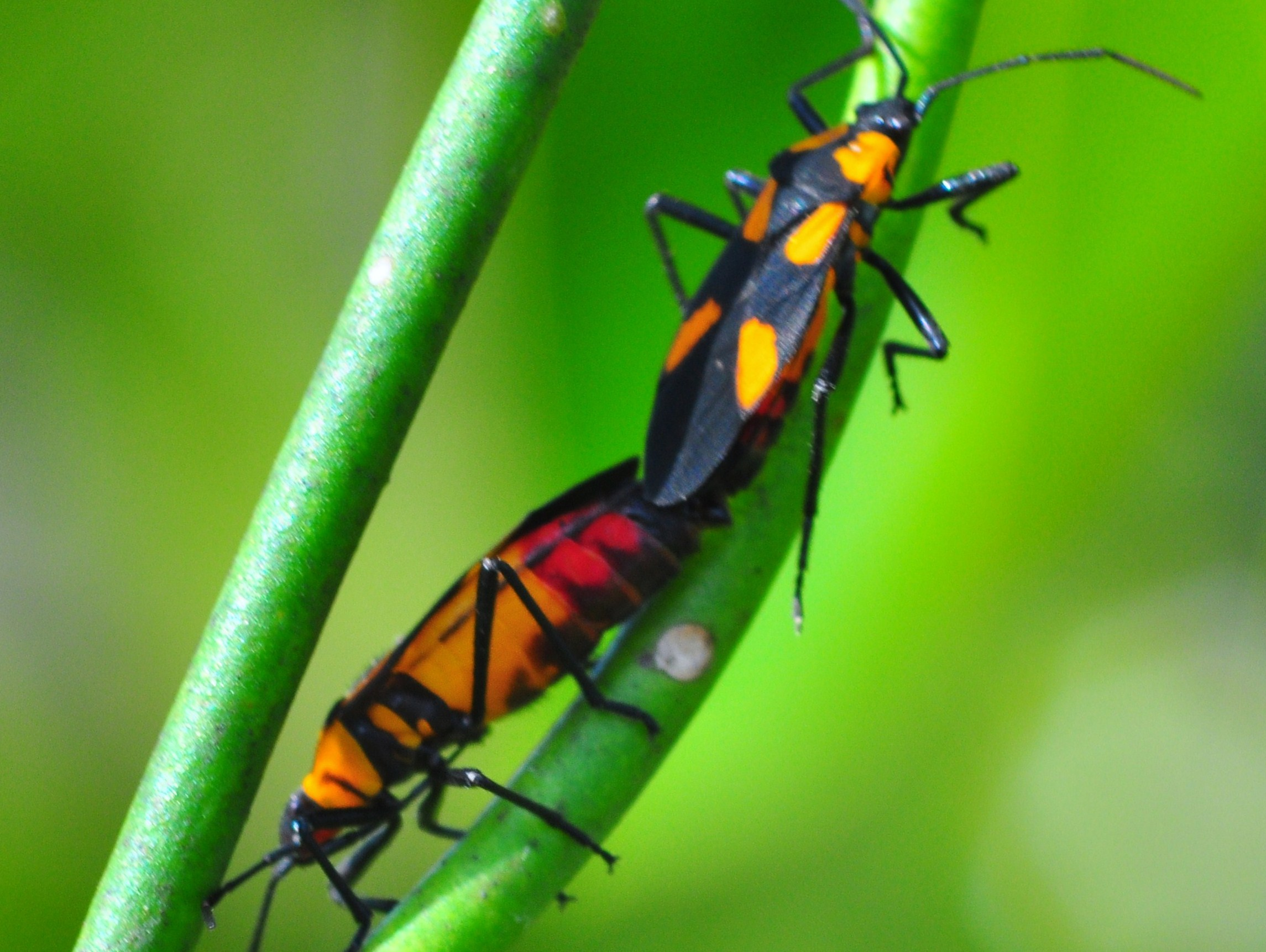 """Milkweed bug in Shark Valley Loop Road in Florida"""