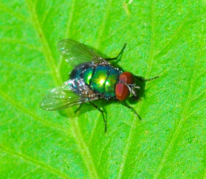 """""""Common Green Bottle Fly"""""""
