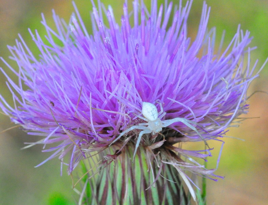 """Crab spider on a thistle in Big Cypress National Preserve"""
