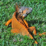 """Iguana in Enchanted Forest Park, North Miami, Florida"""