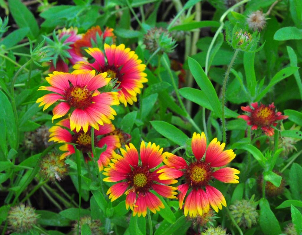 """""""Gaillardia at Arch Creek Memorial Park"""""""