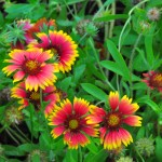"""Gaillardia at Arch Creek Memorial Park"""