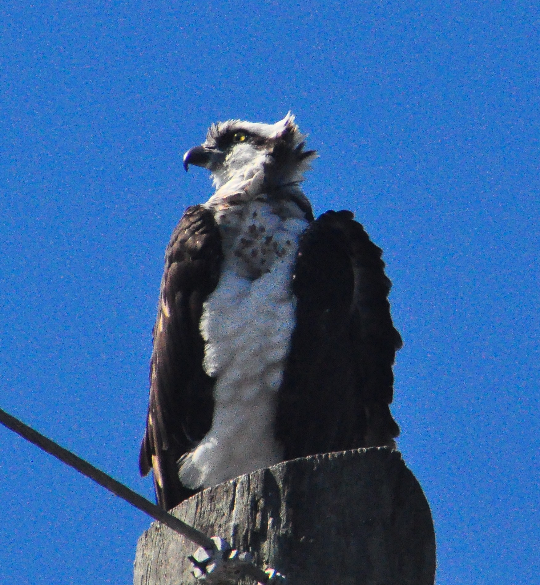 """Holey Land WMA Osprey"""