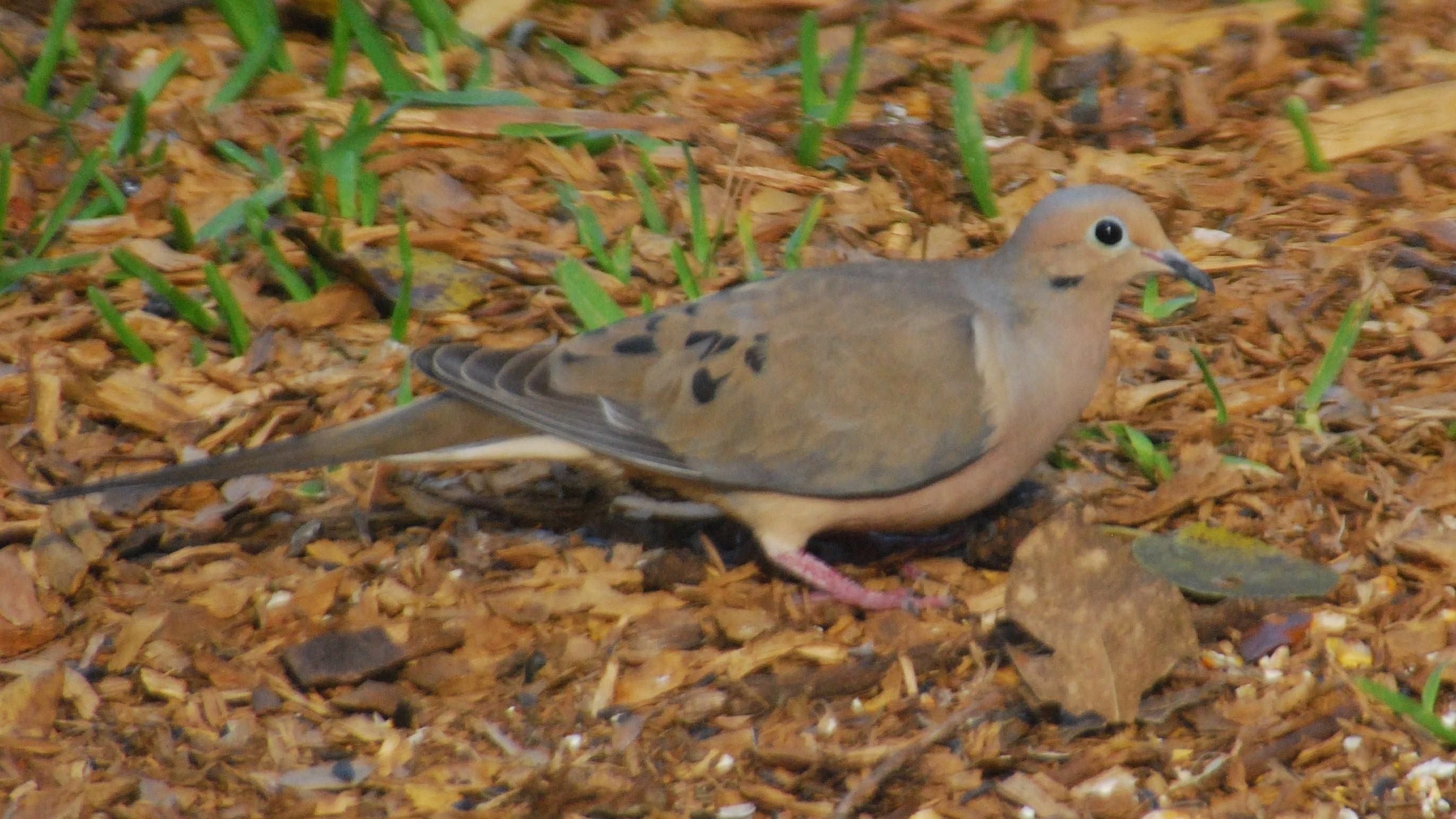 """Mourning Dove at Enchanted Forest Park"""