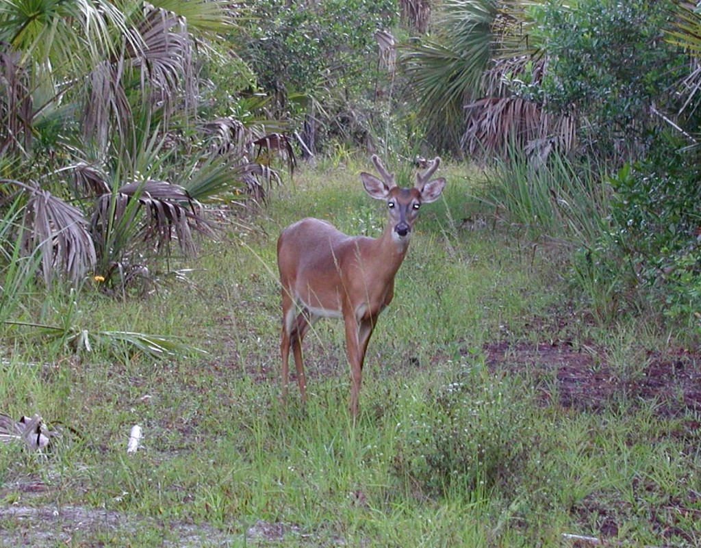"""Younf male deer in the Big Cypress National Preserve"""