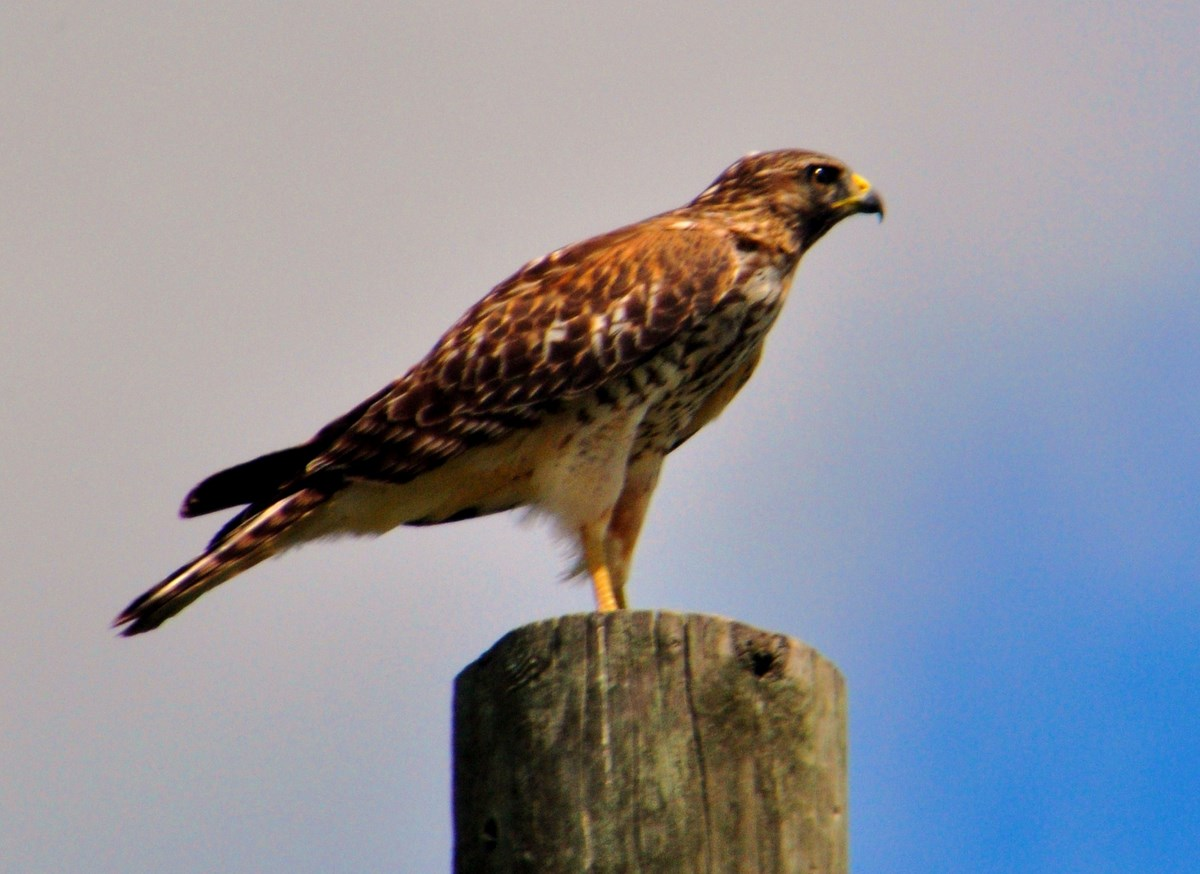 """Red-Tailed Hawk at Dinner Island Ranch"""