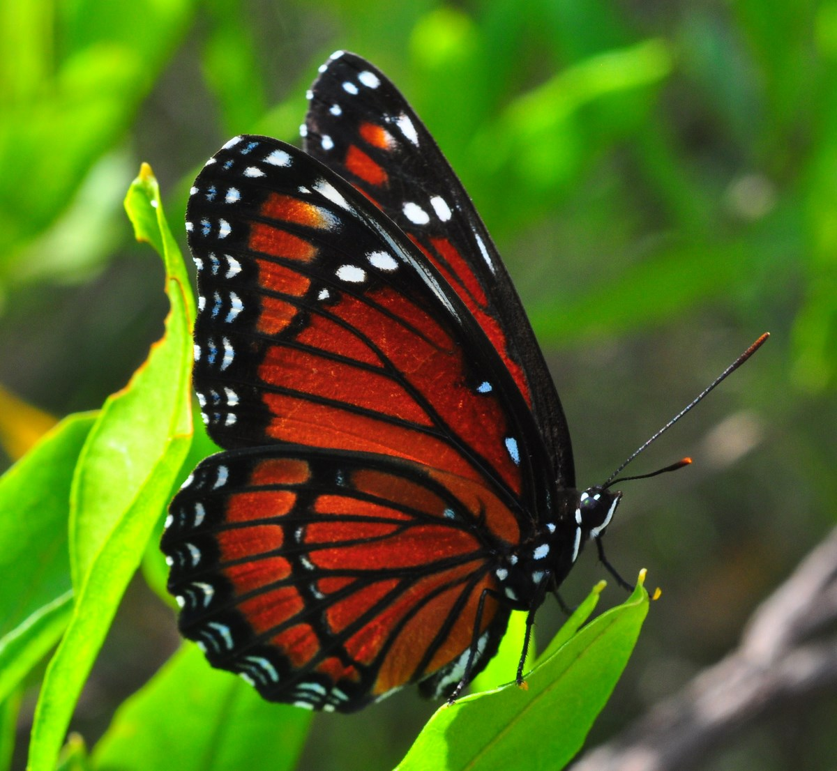 """Viceroy Butterfly at Okaloacoochee Slough State Forest"""