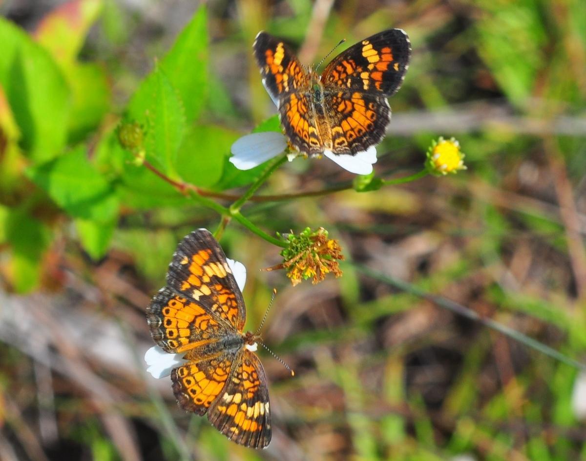"""""""Phaon Crecent Butterflies"""""""