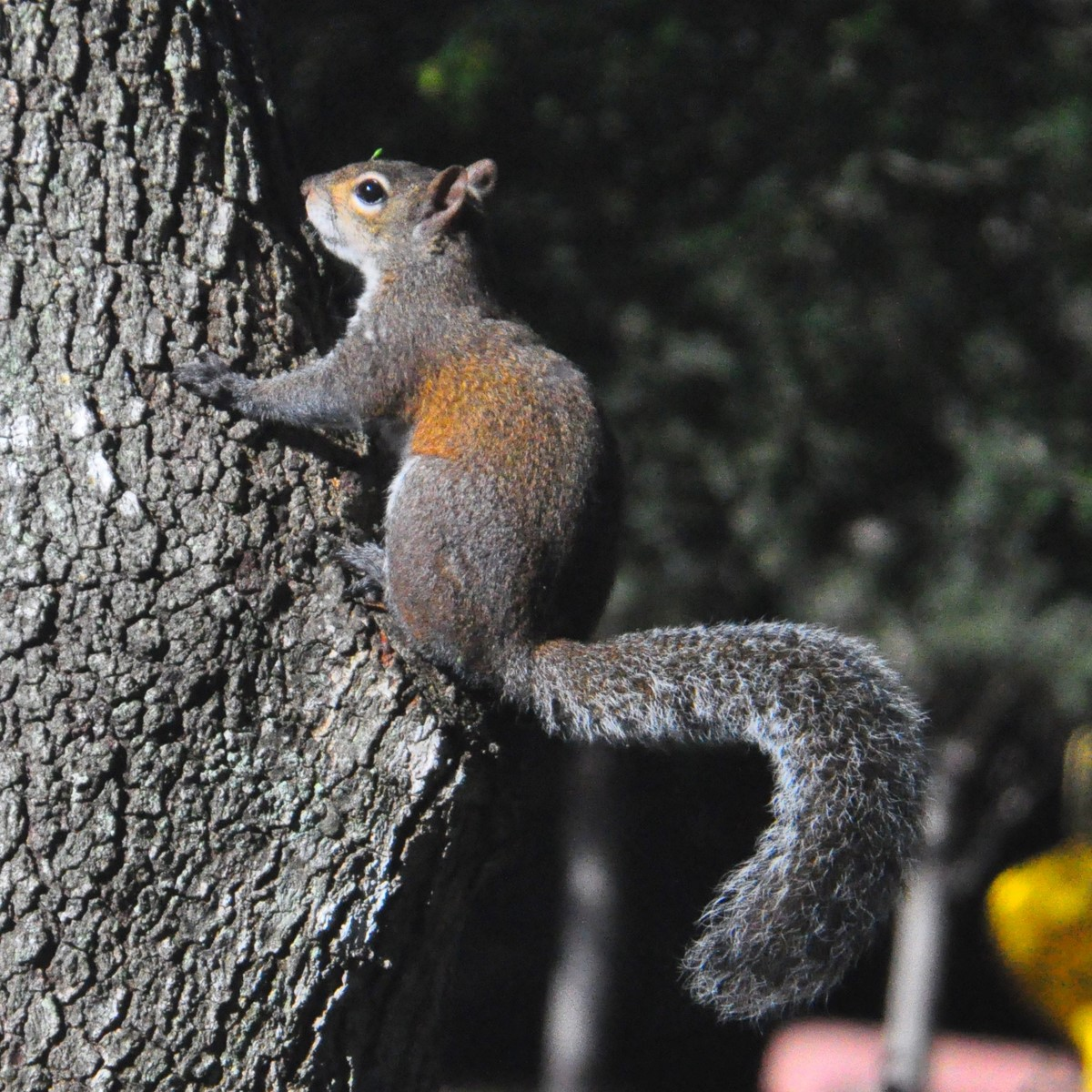 """Gray Squirrel on Tree"""