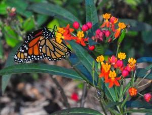 """Monarch Butterfly atop Wild Ixora"""