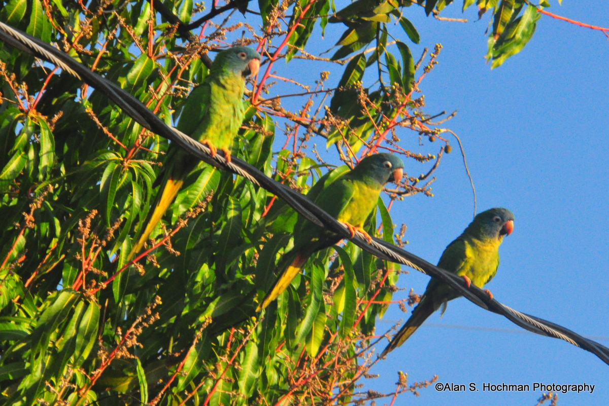 """Green Parrots in South Florida"""