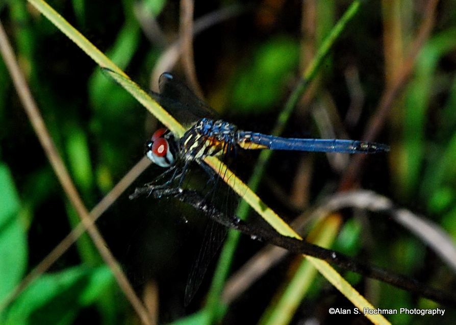 """Blue Dasher Dragonfly at Big Cypress Wildlife Management Area"""