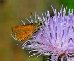"""""""Fiery Skipper Butterfly on a Purple Thistle"""""""