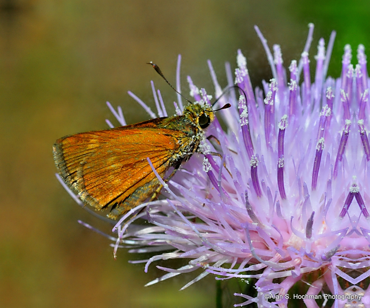 """Fiery Skipper Butterfly on a Purple Thistle"""