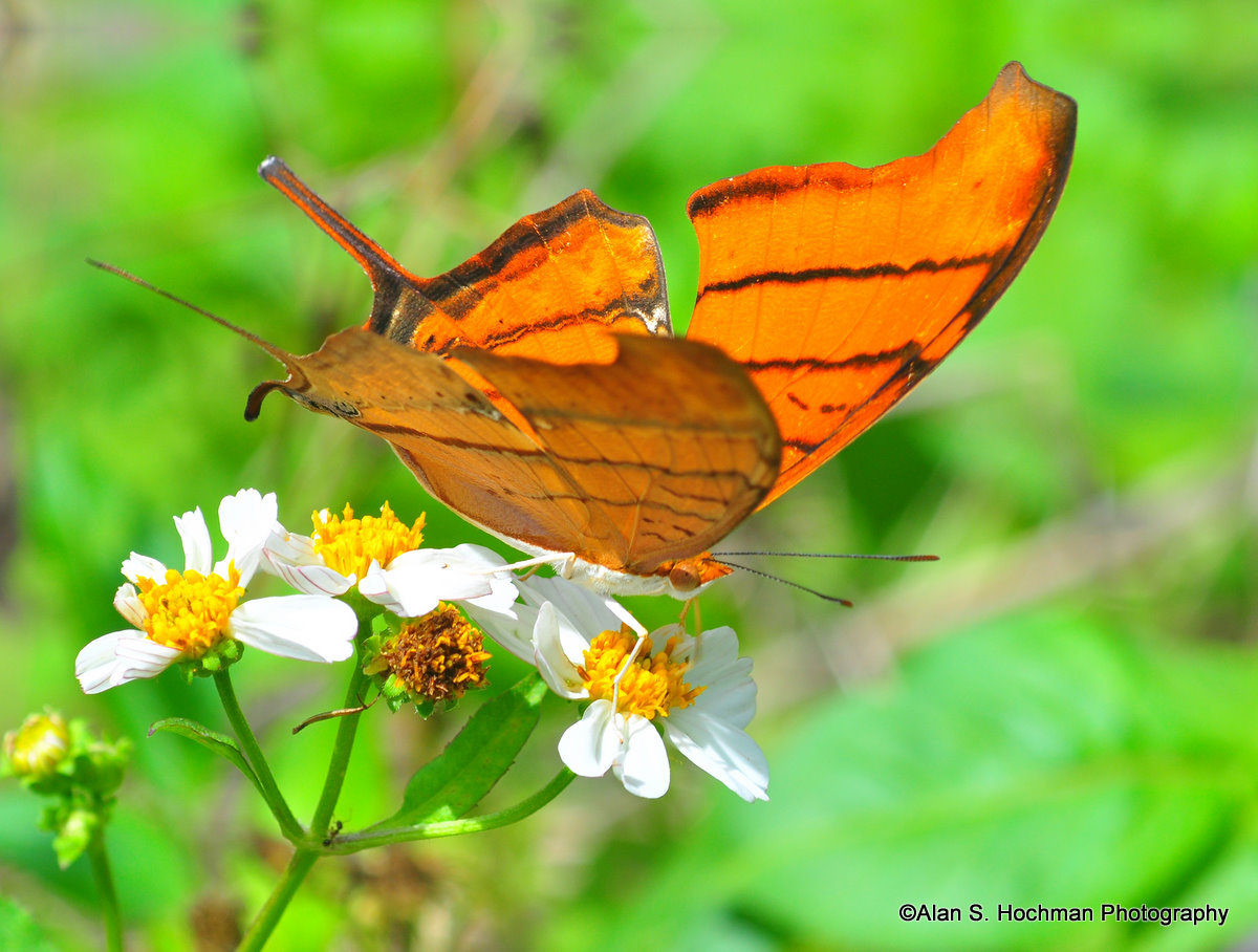 """""""Ruddy Daggerwing Butterfly"""""""