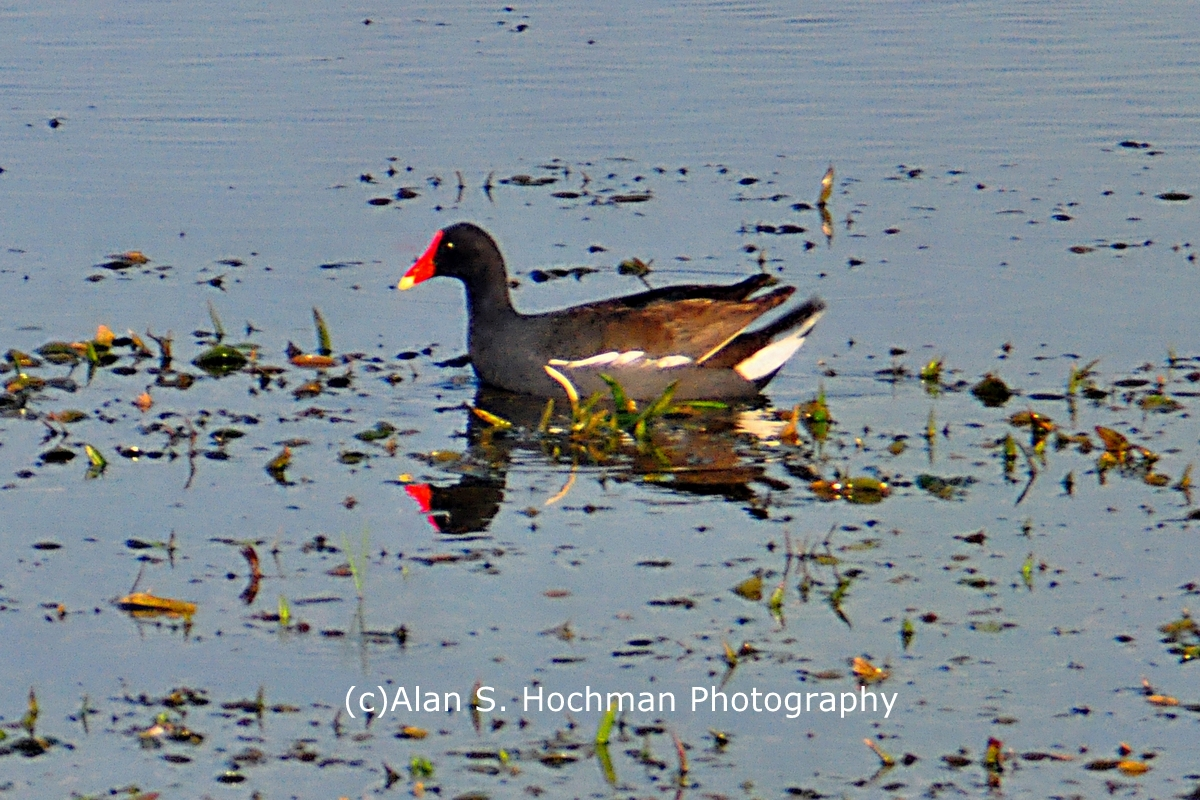 """Common Moorhen at Holey Land WMA"""