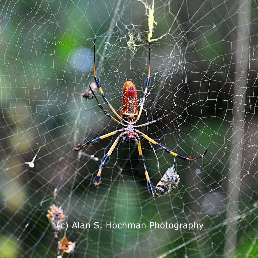 """""""Golden Silk Spider on its web"""""""