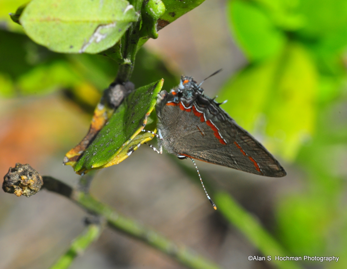 """Red-banded Hairstreak at L-28 Levee"""